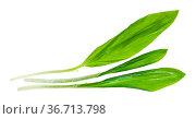 Three separated twigs of fresh wild garlic (ramson) isolated on white... Стоковое фото, фотограф Zoonar.com/Valery Voennyy / easy Fotostock / Фотобанк Лори