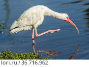 An American white ibis preens itself in the pond in Deland, Florida. Стоковое фото, фотограф Zoonar.com/Gregory Johnston Photography / easy Fotostock / Фотобанк Лори