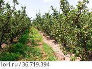 Pear trees in orchard at sunny day. Стоковое фото, фотограф Яков Филимонов / Фотобанк Лори