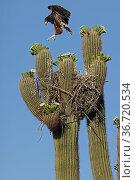 Harris's hawk (Parabuteo unicinctus) juvenile practising flying above the nest in Saguaro cactus (Carnegiea gigantea), Sonoran desert, Arizona. Стоковое фото, фотограф John Cancalosi / Nature Picture Library / Фотобанк Лори