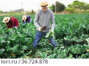 Male farmer harvesting broccoli on farm field. Стоковое фото, фотограф Яков Филимонов / Фотобанк Лори