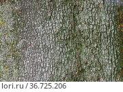 Steineiche Rinde - holm oak bark 01. Стоковое фото, фотограф Zoonar.com/Liane Matrisch / easy Fotostock / Фотобанк Лори