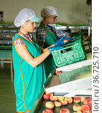 Young women in uniform sorting peaches to crates at warehouse. Стоковое фото, фотограф Яков Филимонов / Фотобанк Лори