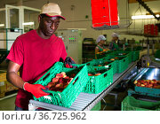 Man sorting and checking peaches quality. Стоковое фото, фотограф Яков Филимонов / Фотобанк Лори