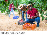 Successful male owner of orchard gathering harvest of ripe peaches on day. Стоковое фото, фотограф Яков Филимонов / Фотобанк Лори