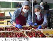 Asian women sorting cherries. Стоковое фото, фотограф Яков Филимонов / Фотобанк Лори