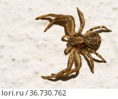 Паук-краб бокоход ксистикус (Xysticus spider) Стоковое фото, фотограф Галина Савина / Фотобанк Лори