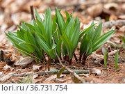 Wild Ramps - wild garlic ( Allium tricoccum), commonly known as ramp... Стоковое фото, фотограф Zoonar.com/KAREL BOCK / easy Fotostock / Фотобанк Лори