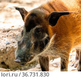 Red river hog, Potamochoerus porcus, also known as the bush pig. This... Стоковое фото, фотограф Zoonar.com/Rudolf Ernst / easy Fotostock / Фотобанк Лори