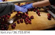 Manual sorting of cherries on a conveyor belt. Стоковое видео, видеограф Яков Филимонов / Фотобанк Лори