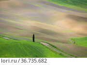 Solitary tree in Val d'Orcia, Tuscany, Italy. Стоковое фото, фотограф Massimo Pizzotti / age Fotostock / Фотобанк Лори