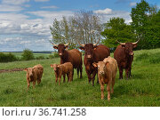 Herd of Salers cattle - cows and calves (Bos taurus), Aisne, France, May. Стоковое фото, фотограф Loic Poidevin / Nature Picture Library / Фотобанк Лори