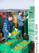 Focused workers preparing crates with freshly harvested artichokes for storage or delivery to stores on farm plantation. Стоковое фото, фотограф Яков Филимонов / Фотобанк Лори
