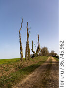 Oak trees, just pruned, on an embankment at the edge of a path, Brittany... Стоковое фото, фотограф Sylvain Cordier / Nature Picture Library / Фотобанк Лори