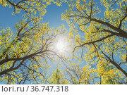 Sun Shining Through Canopy Of Tall Trees With Young Spring Folliage... Стоковое фото, фотограф Ryhor Bruyeu / easy Fotostock / Фотобанк Лори