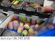 Mango on conveyor belt of sorting line. Стоковое фото, фотограф Яков Филимонов / Фотобанк Лори