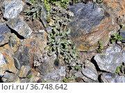 Lepidio de Sierra Nevada (Lepidium stylatum) is a perennial herb ... Стоковое фото, фотограф J M Barres / age Fotostock / Фотобанк Лори