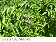 Watercress (Nasturtium officinale) is a perennial aquatic plant native... Стоковое фото, фотограф J M Barres / age Fotostock / Фотобанк Лори