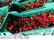 Fresh ripe appetizing cherry in crates, warehouse at factory. Стоковое фото, фотограф Яков Филимонов / Фотобанк Лори