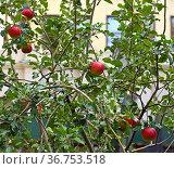 Autumn in New York City. Red ripe apples. Стоковое фото, фотограф Валерия Попова / Фотобанк Лори