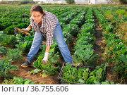 Farm workwoman gathering crop of savoy cabbage on plantation. Стоковое фото, фотограф Яков Филимонов / Фотобанк Лори