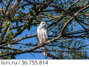 Grey goshawk (Accipiter novaehollandiae) perched in branches of tree, ambush hunter of small birds and mammals in forests and woodlands, Bunya Mountains, Queensland, Australia. Стоковое фото, фотограф Bruce Thomson / Nature Picture Library / Фотобанк Лори