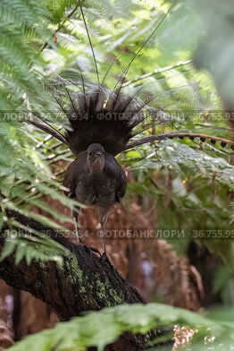 Superb lyrebird (Menura novaehollandiae) male in partial display perched in Tree fern (Cyatheales) in wet eucalypt forest, Lakes Entrance Rainforest, Victoria, Australia.