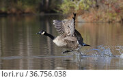 Canada goose (Branta canadensis) taking off from water, Maryland, USA. December. Стоковое фото, фотограф John Cancalosi / Nature Picture Library / Фотобанк Лори