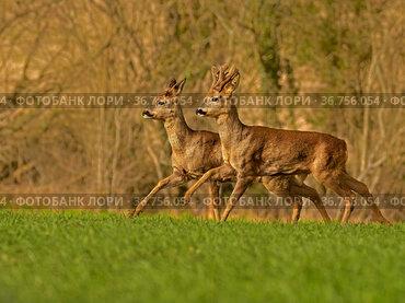 Roe Deer (Capreolus capreolus) doe and buck running, UK.