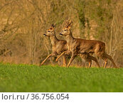 Roe Deer (Capreolus capreolus) doe and buck running, UK. Стоковое фото, фотограф Andy Rouse / Nature Picture Library / Фотобанк Лори