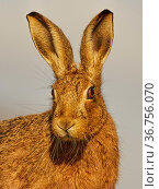 European Hare (Lepus europaeus) close-up in morning light, UK. Стоковое фото, фотограф Andy Rouse / Nature Picture Library / Фотобанк Лори