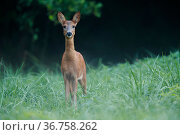 Roe deer (Capreolus capreolus) female in meadow, Yonne, Burgundy, France, September. Стоковое фото, фотограф Cyril Ruoso / Nature Picture Library / Фотобанк Лори