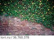 Eine Kletterpflanze mit grünen Blättern wächst eine rustikale Mauer... Стоковое фото, фотограф Zoonar.com/Bastian Kienitz / easy Fotostock / Фотобанк Лори