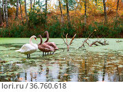 Family of swans on the pond, swans in the wild. Стоковое фото, фотограф Zoonar.com/seagullNady / easy Fotostock / Фотобанк Лори