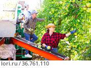 Workers harvesting apples in plantation. Стоковое фото, фотограф Яков Филимонов / Фотобанк Лори