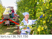 Portrait of successful female farmer harvesting apples in garden. Стоковое фото, фотограф Яков Филимонов / Фотобанк Лори