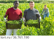Two farmers carrying boxes with beans. Стоковое фото, фотограф Яков Филимонов / Фотобанк Лори