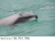 Hector's dolphin (Cephalorhynchus hectori) surfacing to breathe, Akaroa, Bank's Peninsula, South Island, New Zealand, June, endangered species. Стоковое фото, фотограф Mark Carwardine / Nature Picture Library / Фотобанк Лори
