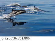 Common dolphins (Delphinus delphis) surfacing at speed offshore, California, USA, Pacific Ocean. Стоковое фото, фотограф Brandon Cole / Nature Picture Library / Фотобанк Лори