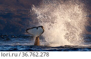 Killer whale / orca (Orcinus orca) splashing with tail fluke. Kvaloya, Troms, Norway October Sequence 4 of 7. Редакционное фото, фотограф Espen Bergersen / Nature Picture Library / Фотобанк Лори