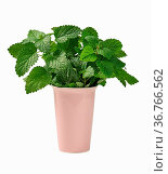 Fresh fragrant mint in ceramic pink vase on white isolated background... Стоковое фото, фотограф Zoonar.com/DANK0 NN / easy Fotostock / Фотобанк Лори