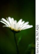 Die Nahaufnahme und Seitenansicht auf die weiße Blüte eines Gänseblümchens... Стоковое фото, фотограф Zoonar.com/Bastian Kienitz / easy Fotostock / Фотобанк Лори