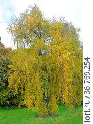 Birkenbäume im Herbst, Birke (Betula) Стоковое фото, фотограф Zoonar.com/Bildagentur Geduldig / easy Fotostock / Фотобанк Лори