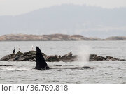 Killer whale or orca (Orcinus orca) male hunting harbour or common seals (Phocina vitulina) Salish Sea, Vancouver Island, British Columbia, Canada. Стоковое фото, фотограф Mark Carwardine / Nature Picture Library / Фотобанк Лори
