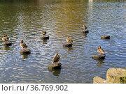 Забавная сценка на пруду - утки сидят на деревянный сваях, вбитых в дно. Стоковое фото, фотограф Сергей Рыбин / Фотобанк Лори