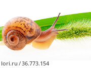 Small brown snail on a green bristle leaf. Стоковое фото, фотограф Zoonar.com/BBBAR / age Fotostock / Фотобанк Лори