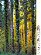 Laubwald im Herbst, Bäume mit Efeu bewachsen, Стоковое фото, фотограф Zoonar.com/Bildagentur Geduldig / easy Fotostock / Фотобанк Лори