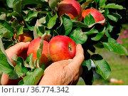 Apfel ernten - apple harvest 03. Стоковое фото, фотограф Zoonar.com/Liane Matrisch / easy Fotostock / Фотобанк Лори