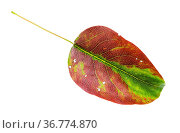 Brown and green fallen leaf of pear tree isolated on white background. Стоковое фото, фотограф Zoonar.com/Valery Voennyy / easy Fotostock / Фотобанк Лори