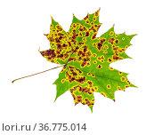 Diseased leaf of maple tree isolated on white background. Стоковое фото, фотограф Zoonar.com/Valery Voennyy / easy Fotostock / Фотобанк Лори